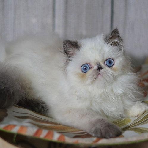 164 Pinky   Persian  female kitten