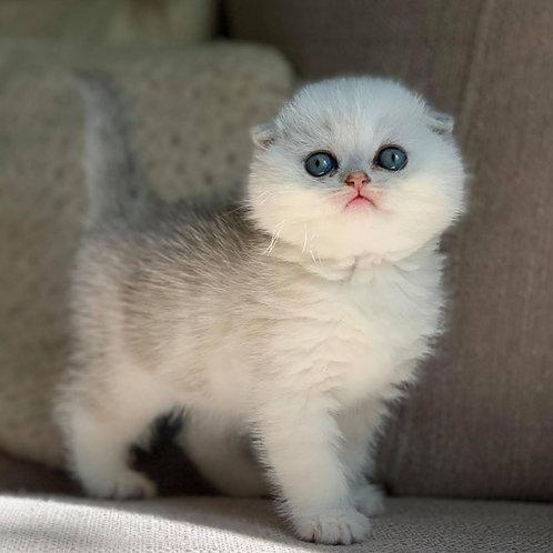 1032 Viktor Scottish fold shorthair male kitten