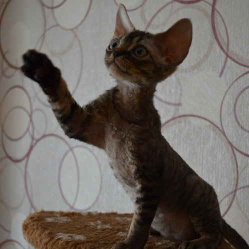 294 Briz    male kitten Devon Rex