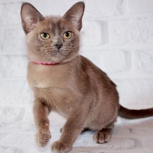 135 Calsey   Burmese  female kitten