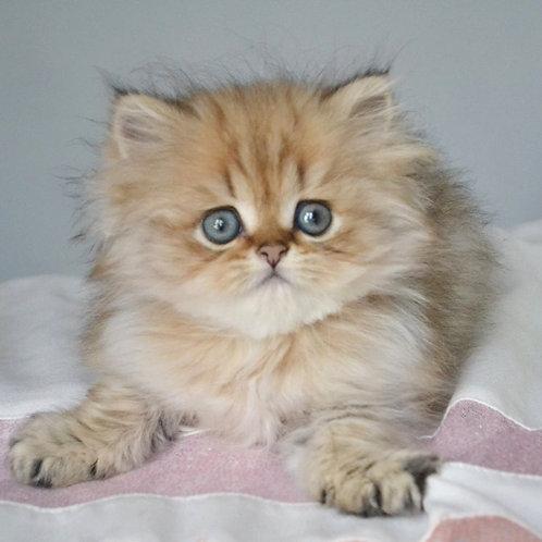 1179 Quince  British longhair male kitten