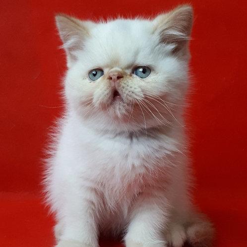 69 Lexus   Exotic shorthair male kitten