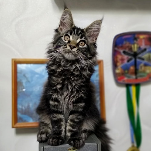 519 Aifon    Maine Coon male kitten