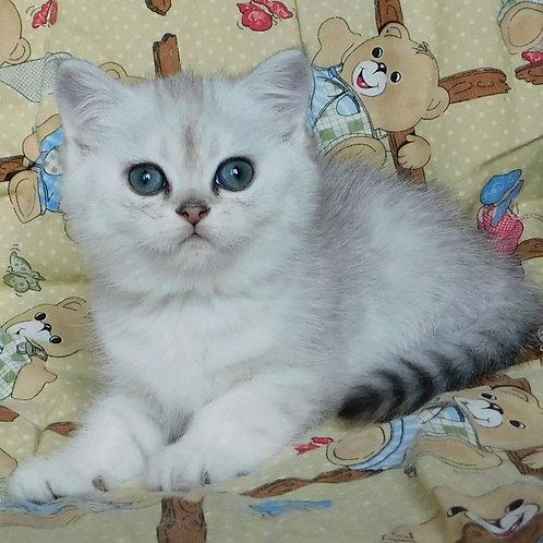 72 Nonny   Scottish straight shorthair female kitten