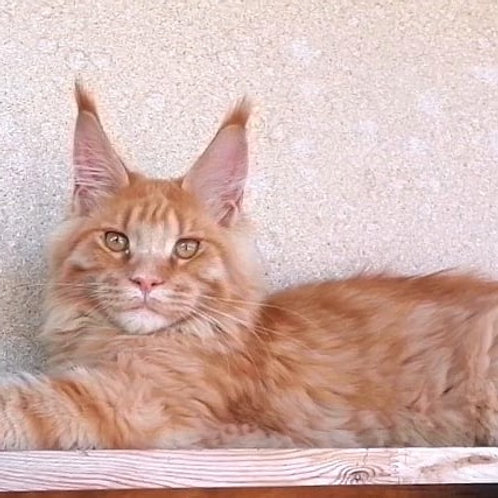 470 Dexter  Maine Coon male kitten