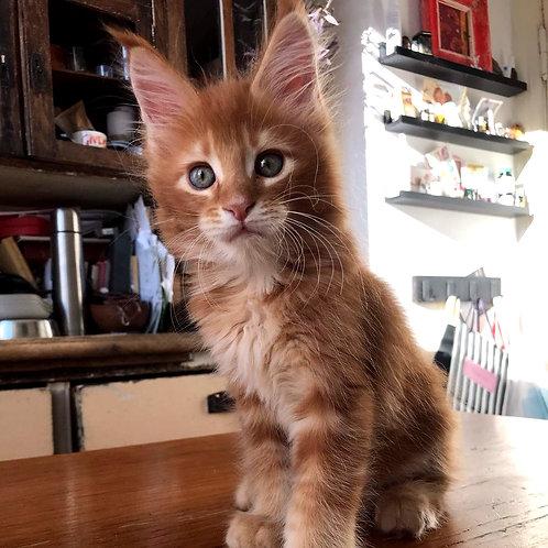 771 Kuzma Maine Coon male kitten