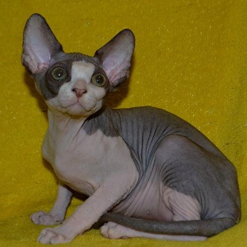 189 Kraisler male Sphinx kitten