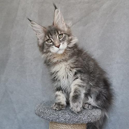 Samurai Maine Coon male kitten