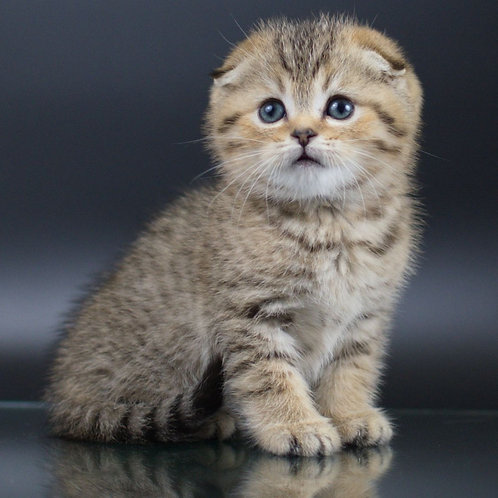 Yamir  Scottish fold shorthair male kitten