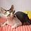 Thumbnail: 161 Amigo  male kitten Devon Rex