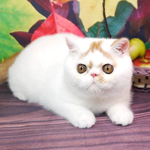 236 Yogurt Exotic  male kitten