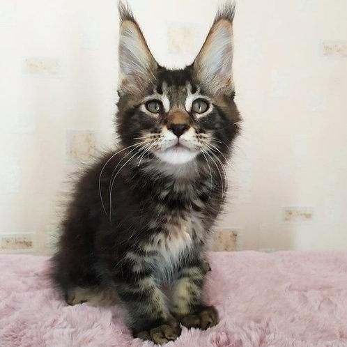 730 Edmon   Maine Coon male kitten