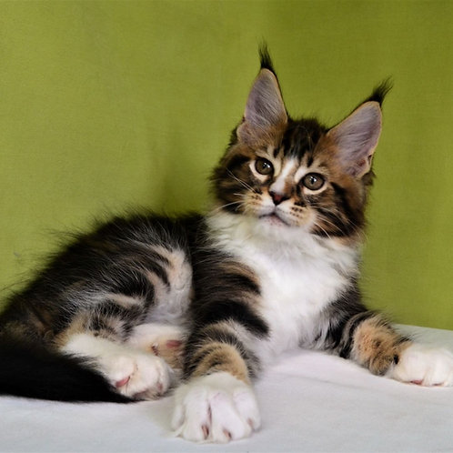 450 Dyushes Maine Coon male kitten
