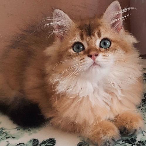 776 Ponchick  British longhair male kitten