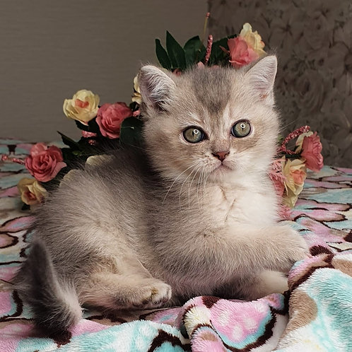 414 Cesar  British shorthair male kitten