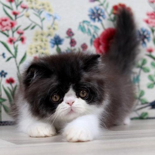 134 Guffy   Persian  male kitten