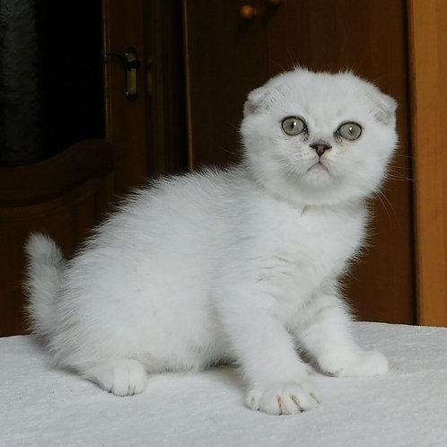 806 Qvartz  Scottish fold shorthair male kitten