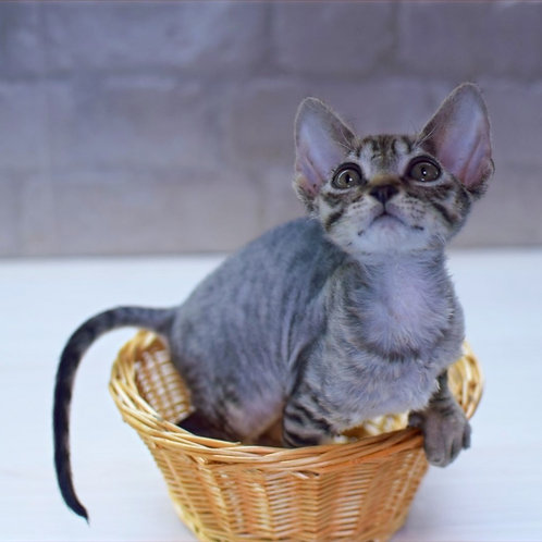 407 Maveric male kitten Devon Rex