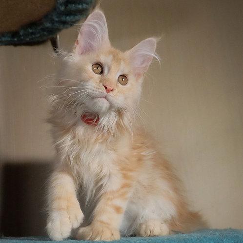 288 Griffindor polydactyl 66/66    Maine Coon male kitten