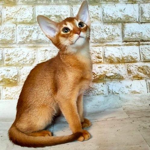 98 Bell   purebred Abyssinian female kitten