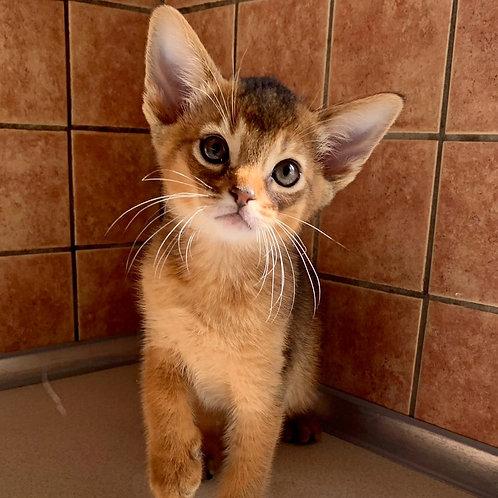 284 Unit   purebred Abyssinian male kitten
