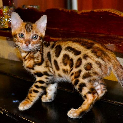 63 Noel  purebred Bengal male kitten