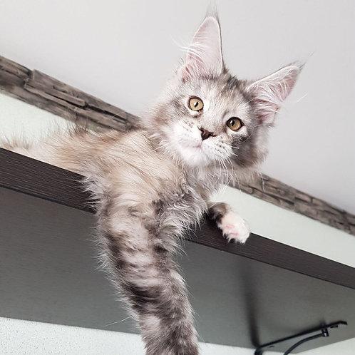Bogemi Maine Coon female kitten