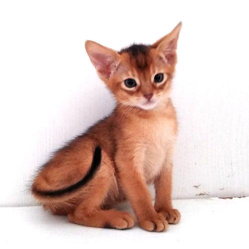 186 Nika  purebred Abyssinian female kitten