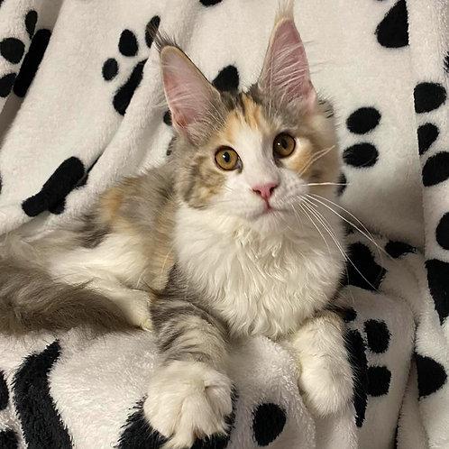 119 Nessy  Maine Coon female kitten