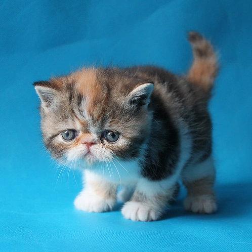 Izuminka Exotic shorthair female kitten