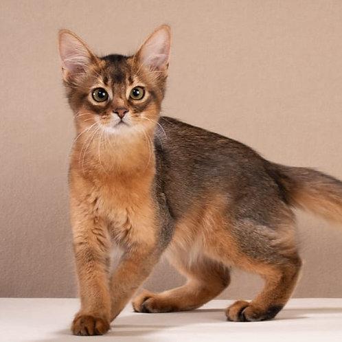 194 Fanta  purebred Somali female kitten