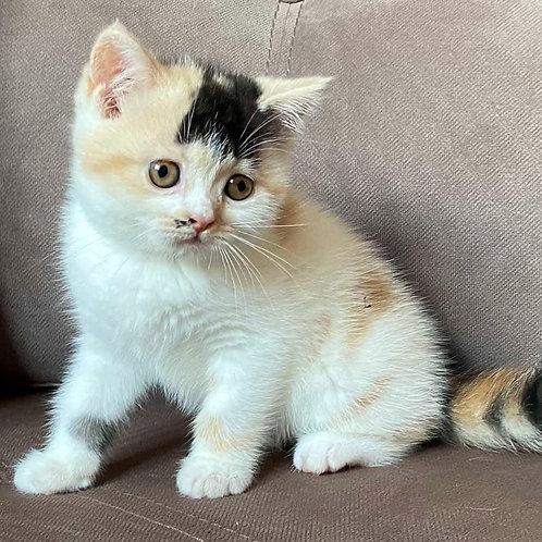 797 Hister   Scottish straight shorthair female kitten