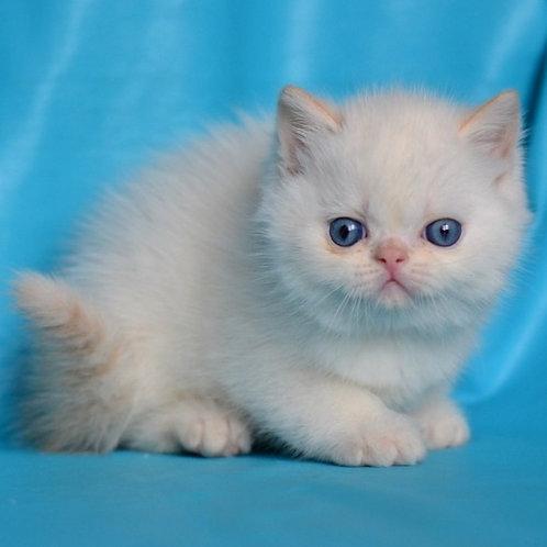 57 Tayson    Exotic shorthair male kitten