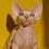 Thumbnail: 270 Colombo male Bambino  kitten