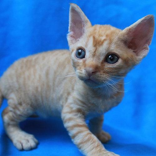 Ciceron male kitten Devon Rex