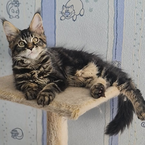 805 Altay  Maine Coon male kitten