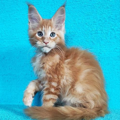 438 Larion    Maine Coon male kitten
