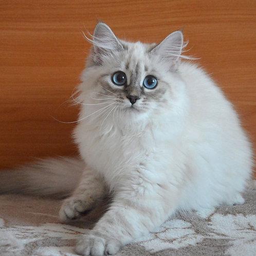 Jasmin Siberian female kitten