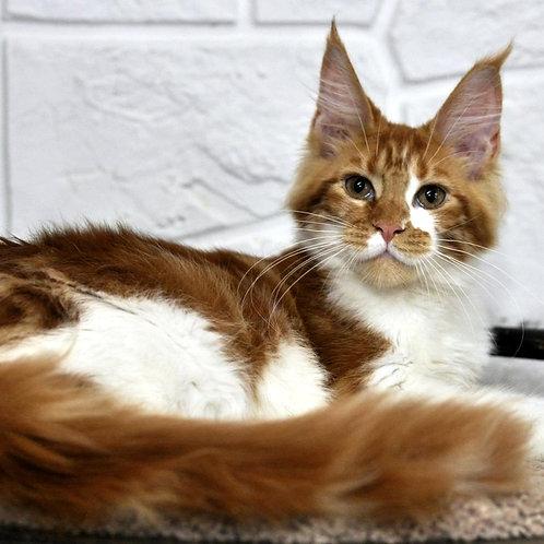 312 Dakota     Maine Coon female kitten