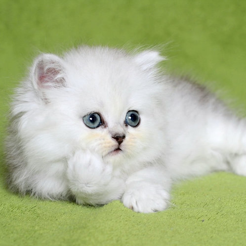 127 Chloe Persian female kitten