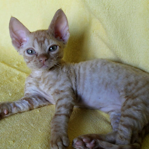 434 Farhat  male kitten Devon Rex