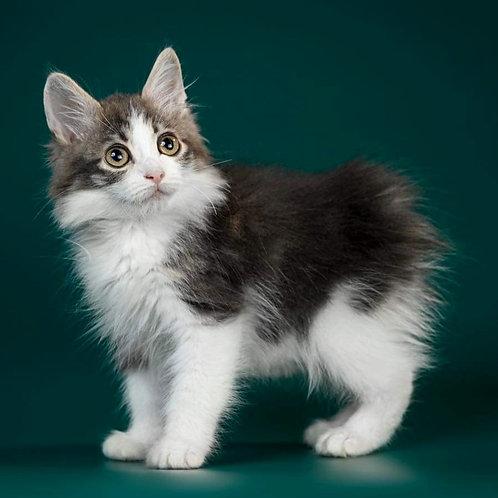 788 Ferdinand  longhair Kurilian Bobtail male kitten