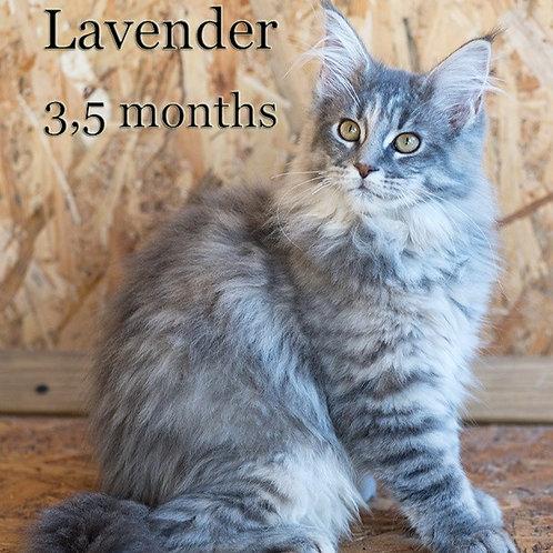 Lavender Maine Coon female kitten