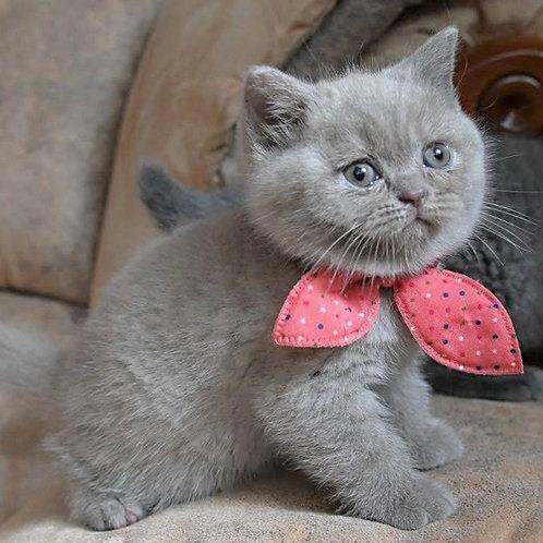 619 Yasmine  British shorthair female kitten