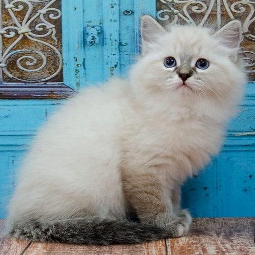 705 Wind Siberian male kitten
