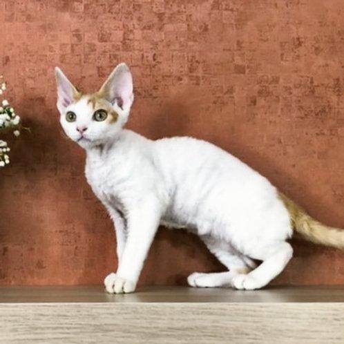358 Kitty Hello    female kitten Devon Rex