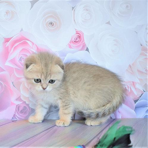 Ulyana Scottish fold shorthair female kitten