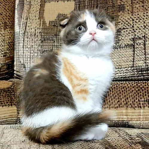 541 Daffy      Scottish fold shorthair female kitten