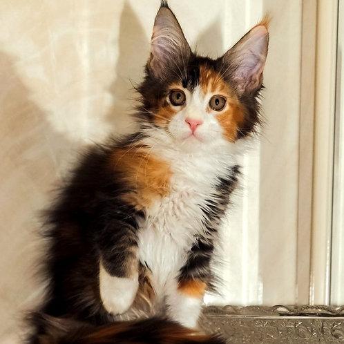 696 Linda Maine Coon female kitten