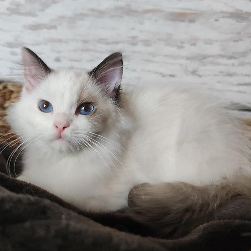 509 Korzhik  Ragdoll male kitten